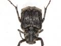 Коротконадкрылый пестряк Valgus hemipterus (Scarabaeidae_ Valginae)