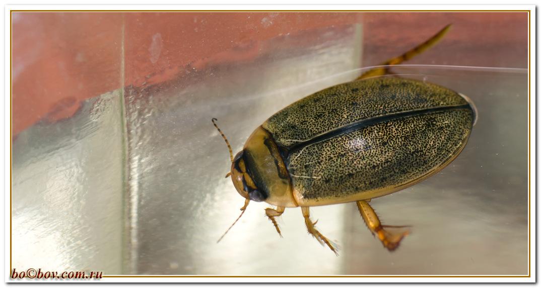 Rhantus exoletus.Ильник желтобрюхий. самка.