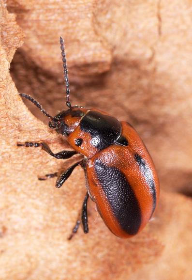 Рапсовый листоед .Chrysomelidae: Entomoscelis adonidis (Pallas, 1771)