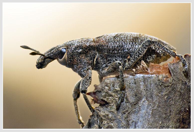 Весна, Март. Первые Долгоносики.Leucomigus candidatus (Curculionidae)