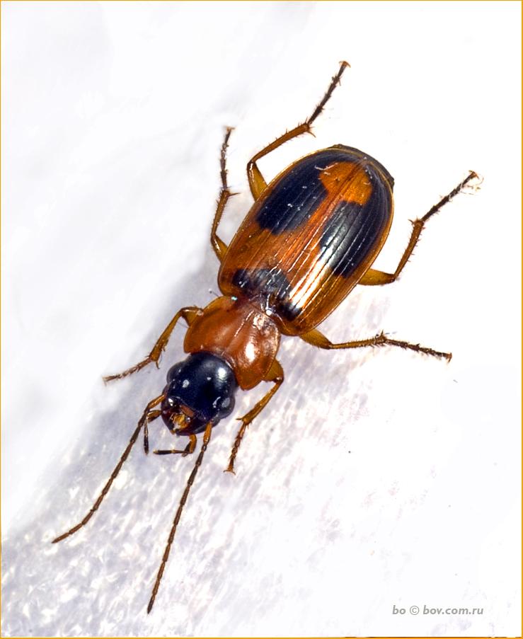 жужелица Trigonoscelis muricata (Pallas, 1781)