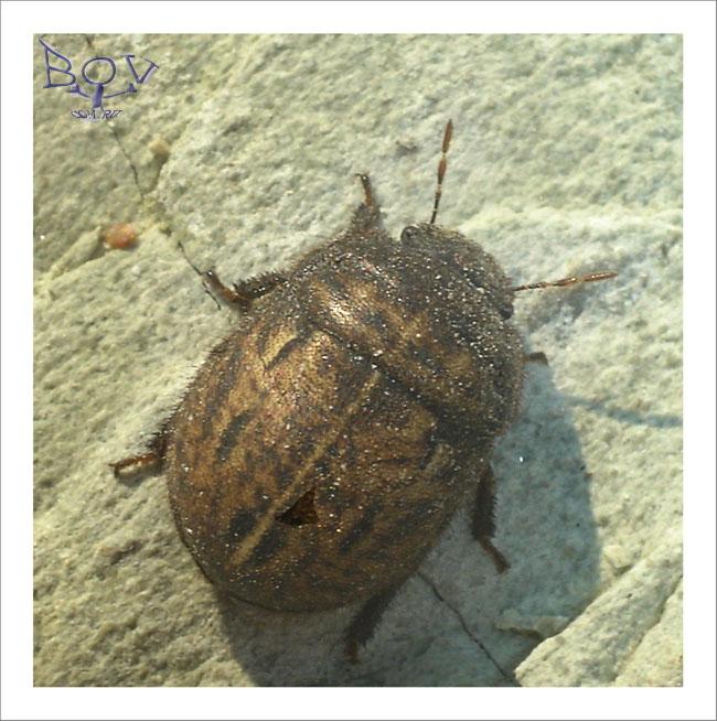 Odontoscelis fuliginosa (семейство Scutelleridae).