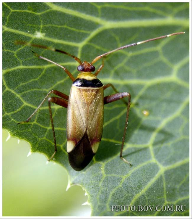 Miridae (Слепняки)