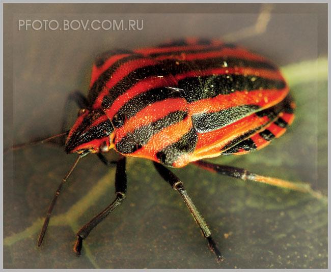 Щитник линейчатый - Graphosoma lineatum