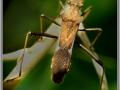 Краевик Alydus(Coreidae)