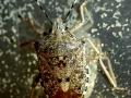 Клоп щитник Rhaphigaster nebulosa.
