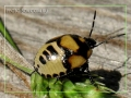 Нимфа клопа сем. Pentatomidae (Щитники).
