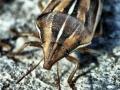 Aelia acuminata (Pentatomidae)