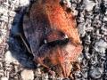 Болотная черепашка (Eurygaster testudinaria)