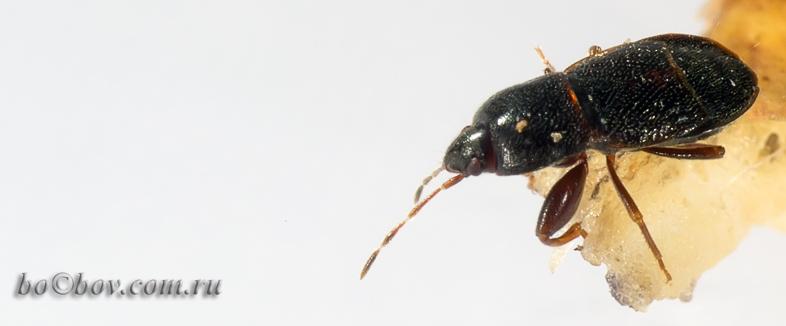 Семейство Lygaeidae.  Megalonotus sp