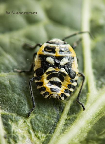 Личинка клопа - возможно Eurydema sp., например Eurydema ornata)