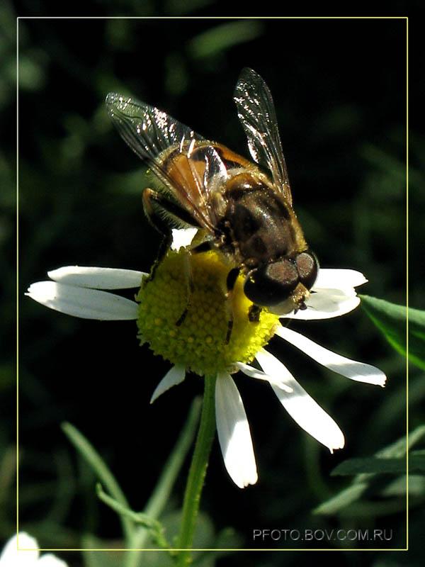 обыкновенная пчеловидка (Eristalis tenax)