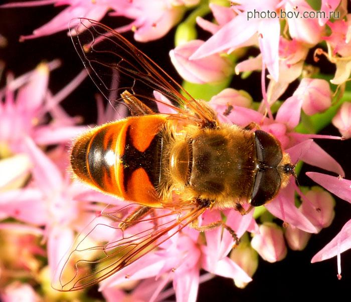 Пчеловидка обыкновенная