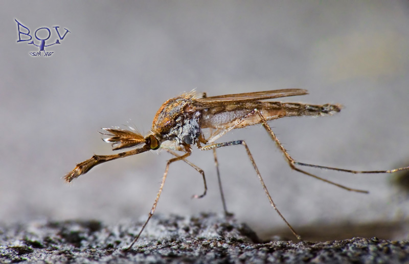 Помогите определить комара