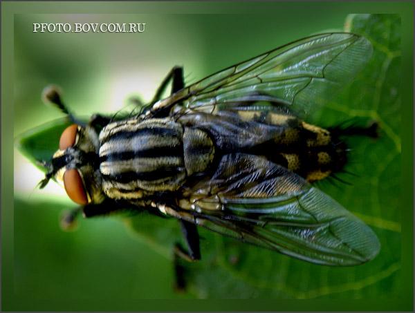 Серая мясная муха
