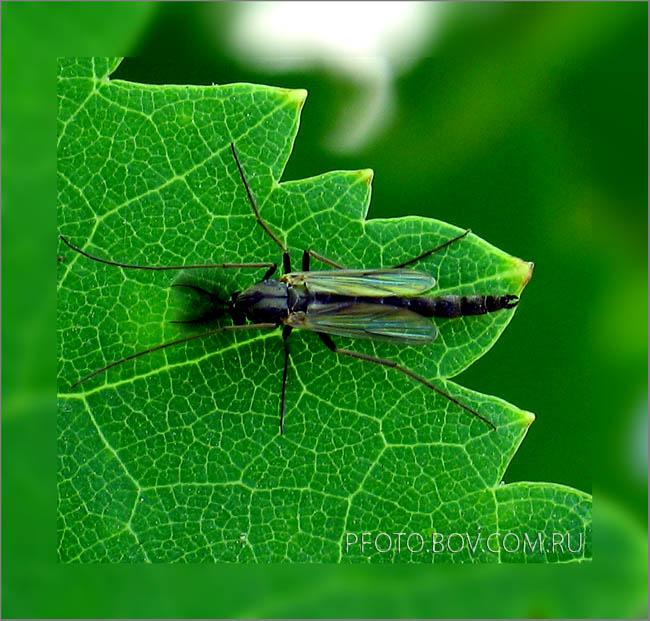 комар из семейства комаров-звонцов (Chironomidae).