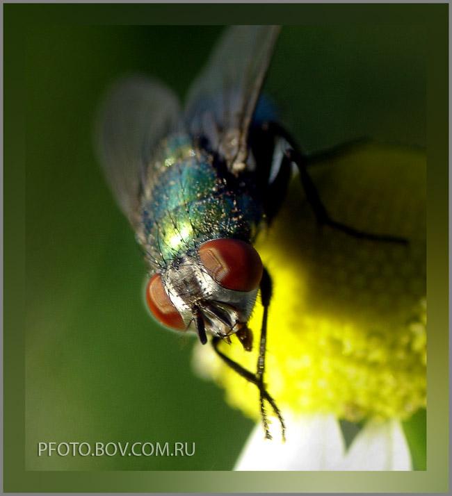 Lucilia caesar (зеленая падальная муха).