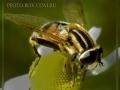 Журчалка (сем. Syrphidae) Helophilus pendula.