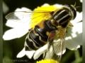 Журчалка (сем. Syrphidae), Helophilus pendula.