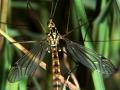 Долгоножка (Tipula sp.)_2