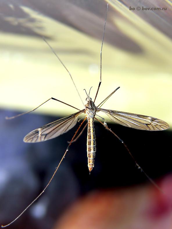 Долгоножка (Tipula sp.)_1