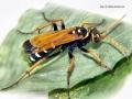 Batazonellus lacerticida