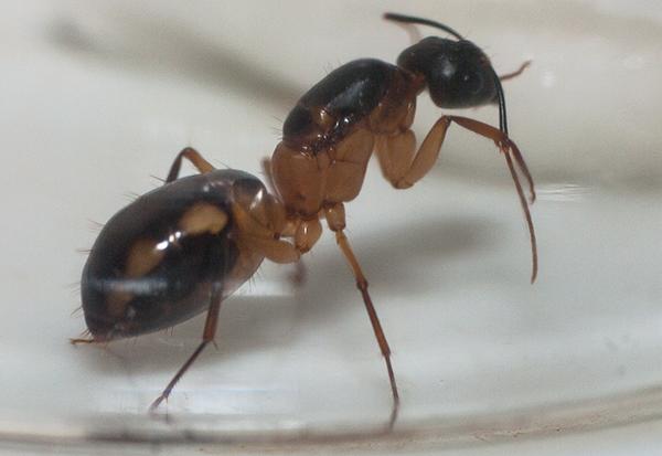 Матка.Camponotus maculatus (пятнистый муравей-древоточец)