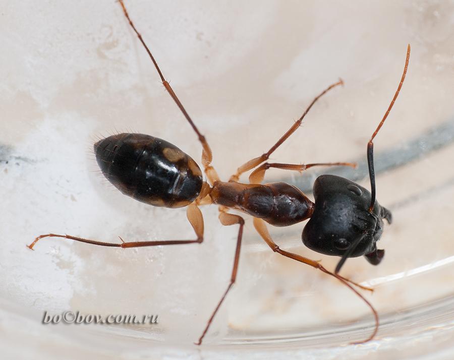 Солдат .Матка.Camponotus maculatus (пятнистый муравей-древоточец)