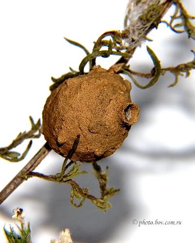 Кувшинчик пилюльной осы E. tripunctatus Christ