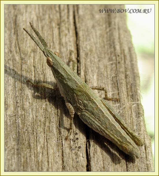 Пиргоморфа ( Pyrgomorpha bispinosa), нимфа.