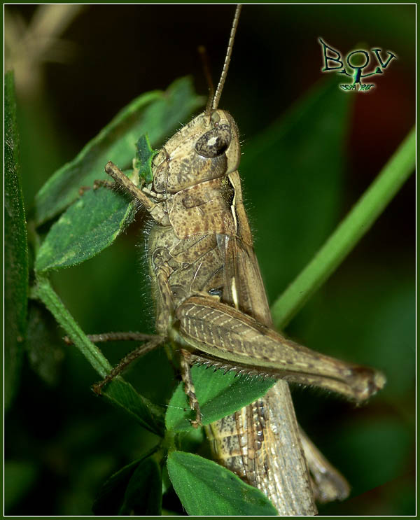 Самка Chorthippus sp.
