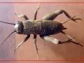 Пустынный cверчок (Melanogryllus desertus), нимфа последнего