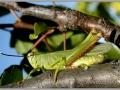 Heteracris pterosticha – Самец бахчовой кобылки.