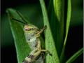 Кобылка прибрежная – Heteracris littoralis (личинка)
