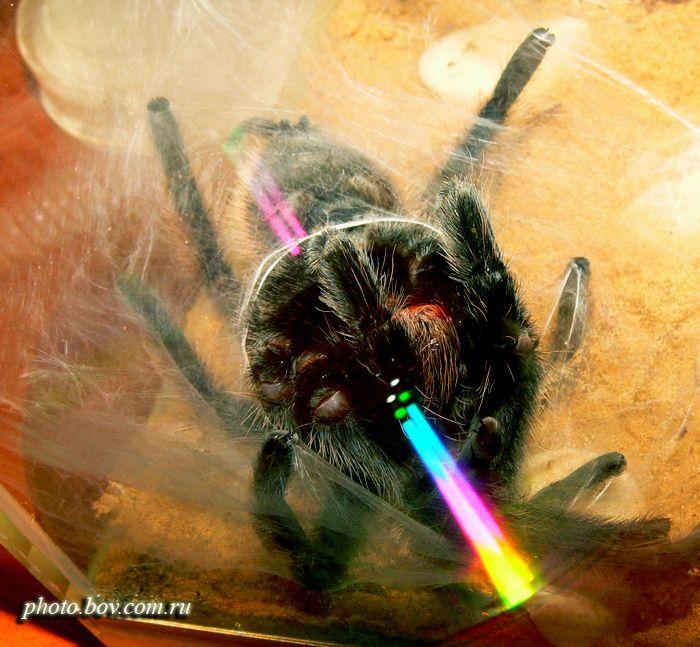 Сперм паутина. Brachypelma albopilosum.