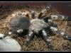 Фото альбом пауки птицееды