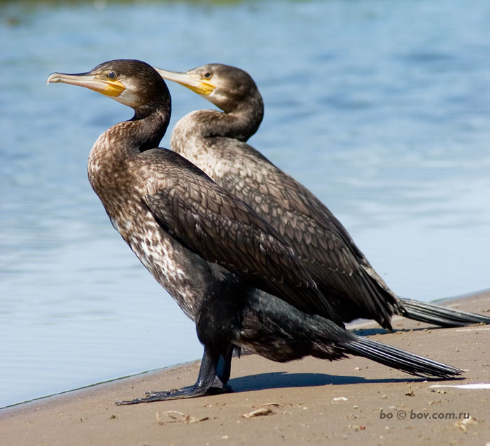 Phalacrocorax carbo.Бакланы