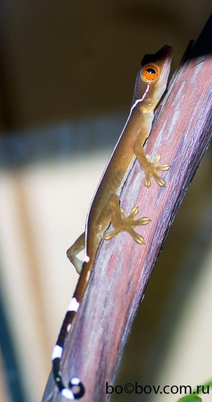 Полосатый геккон (Gekko vittatus)