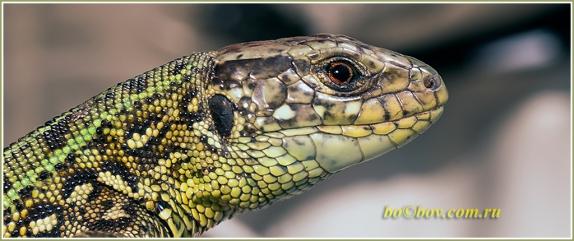 Самец восточного подвида прыткой ящерицы  (Lacerta agilis exigua)