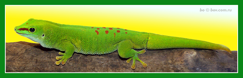 Мадагаскарский геккон