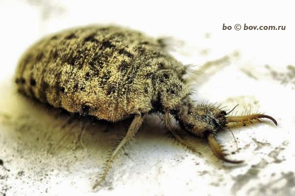 обыкновенный муравьинный лев _личинка