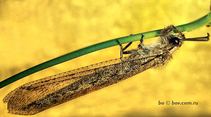 обыкновенный муравьинный лев имаго