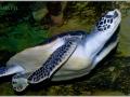 Зелёная черепаха  или суповая черепаха  (  Chelonia mydas)
