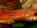Красная крысиная змея