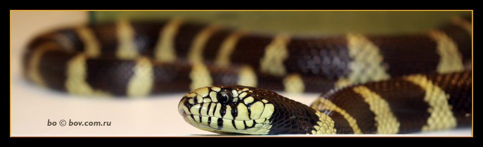 Калифорнийская королевская змея. Lamhropeltis getulus califoniae .