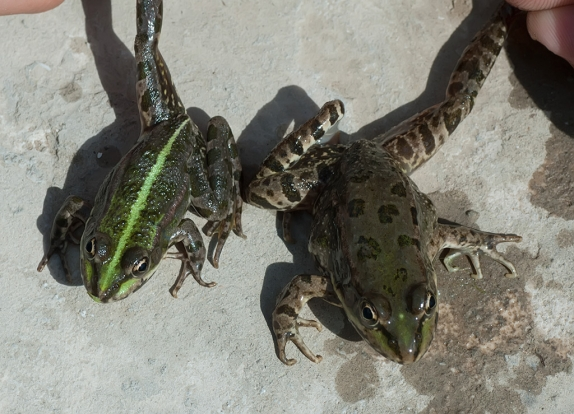 Прудовые лягушки (RANA LESSONAE)