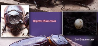 Носороги с Пхи Пхи Дона. ( Oryctes rhinoceros).