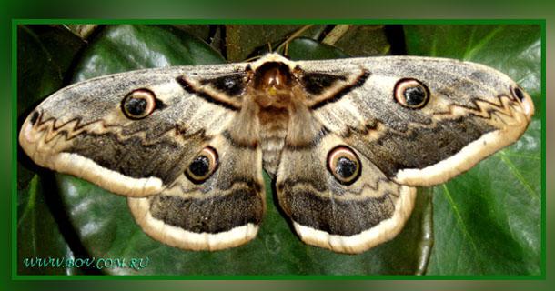 Большой ночной павлиний глаз – метаморфозы.