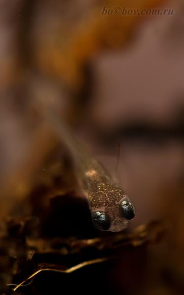 только что проклюнувшаяся личинка  Nematolebias whitei