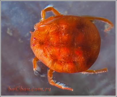 Водяной клещ (Hydrachna cruenta)